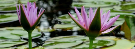 20140704_water_lily